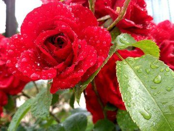 Роза-королева сада!